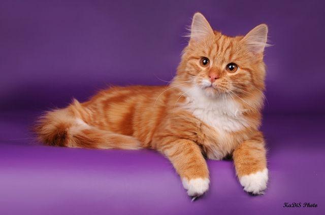 аллергия на сибирских кошек